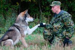 Волко-собаки: что мы о них знаем?
