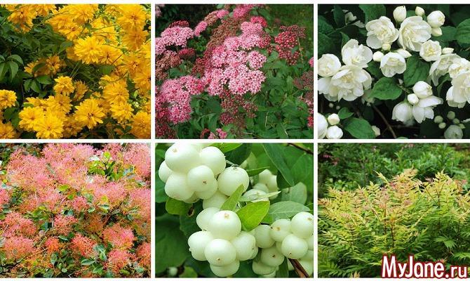 Растения для живых изгородей: знакомые «незнакомцы» (часть 2)