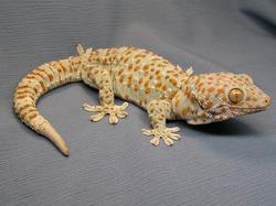 Приручаем дракона: как содержать геккона?