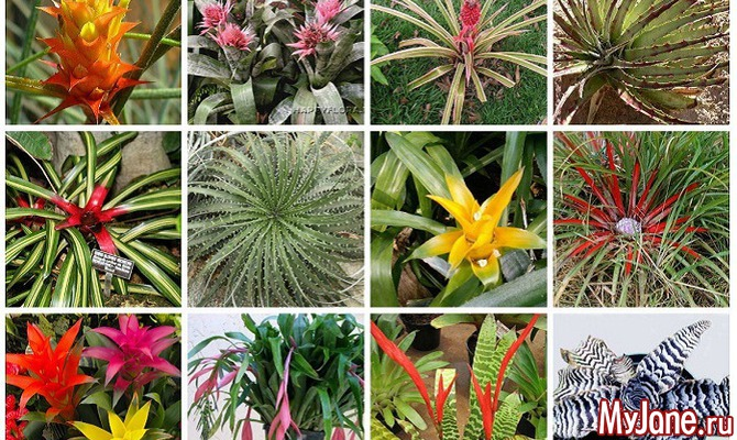 Бромелиевые растения: когда «глаза разбегаются»...