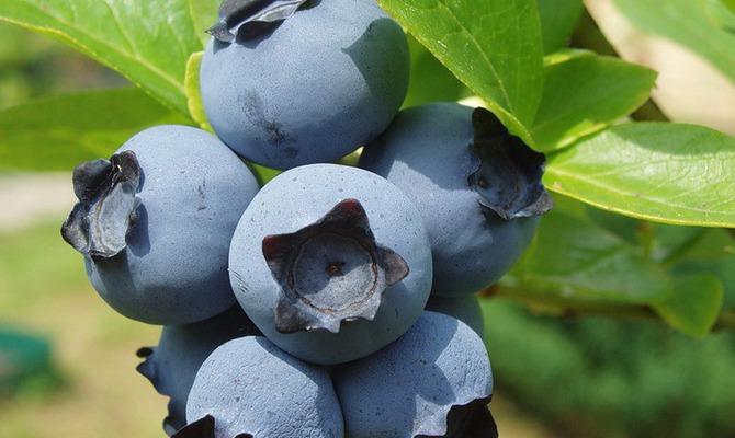Голубой виноград