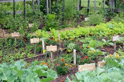 Многолетние овощи: они всегда возвращаются!