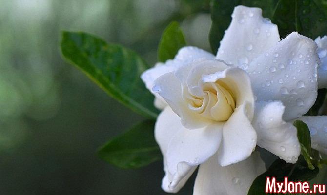 Гардения: фаворитка парфюмеров, петлиц и свадеб
