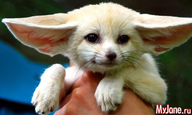 Фенек: уши и немного лисички!