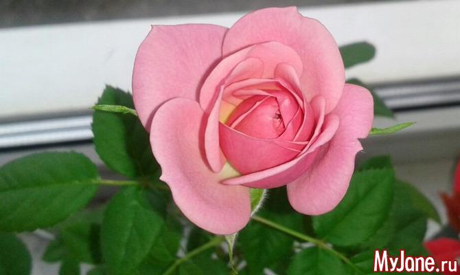Роза на подоконнике