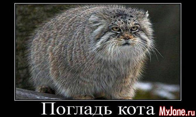 Манул: «кошка, которая гуляет сама по себе»