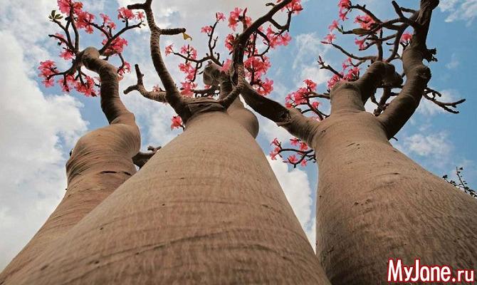 Адениумы: «инопланетные» растения или бонсай, созданый природой?