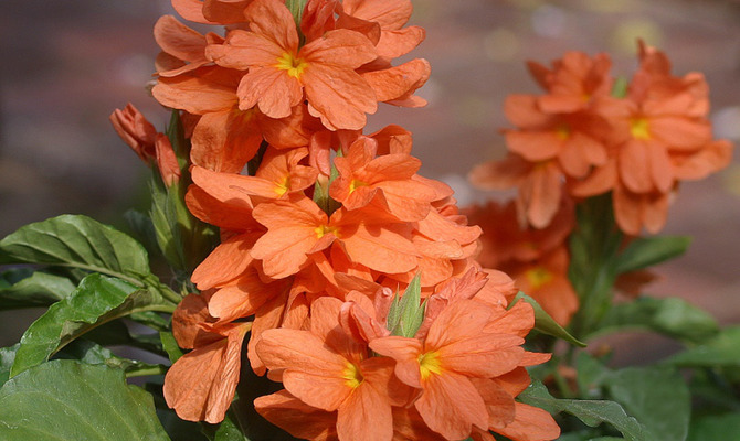 Кроссандра – цветок-хлопушка
