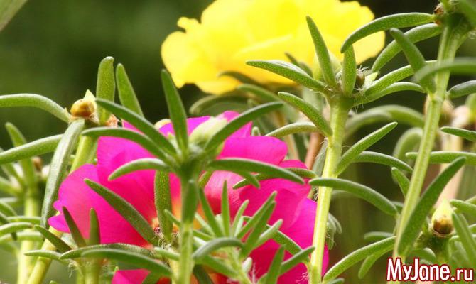 Портулак: «сорняк» во саду ли, в огороде
