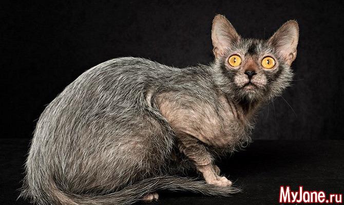 Ликои - вервольфы мира кошек