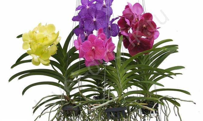 Орхидея Ванда – воздушный цветок
