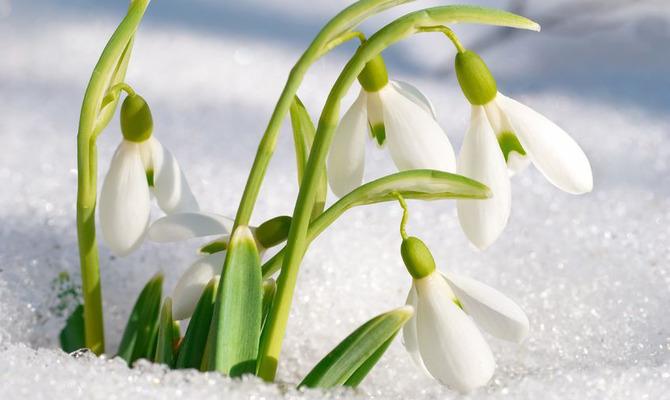 """Опята под снегом или """"зимние чудеса"""" на даче..."""