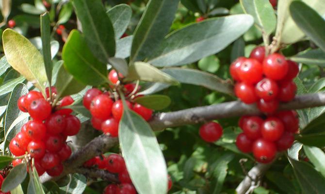 Шефердия серебристая или ягода бизона