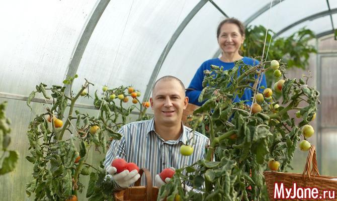 Советы по  выращиванию помидоров в теплице