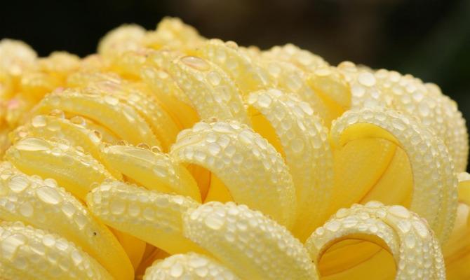 Хризантема овощная