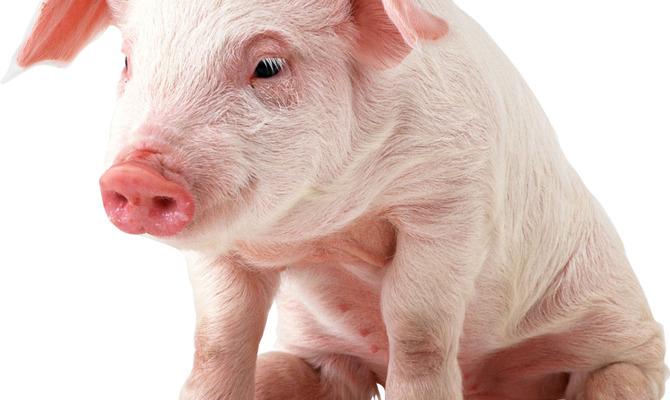 Когда свиньи начнут летать…