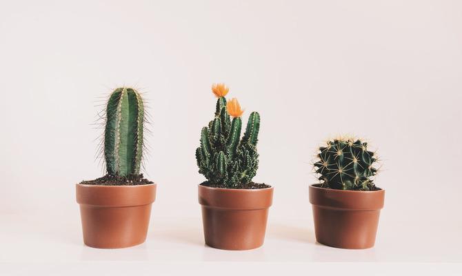 Польза кактусов и уход в домашних условиях