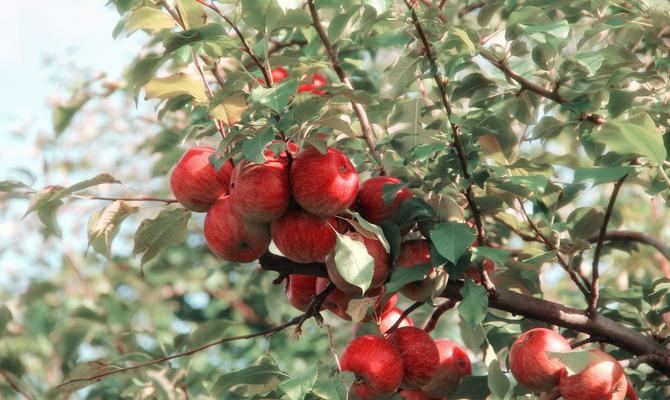 Яблоко против болезней