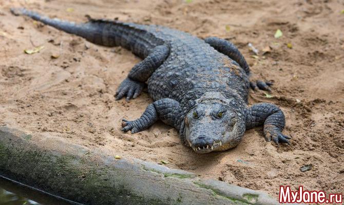 Грозные потомки динозавров - крокодилы