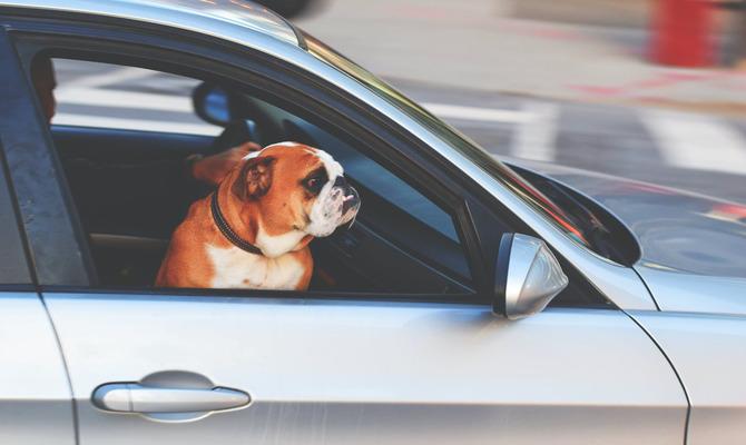 Как путешествовать с собакой в машине?