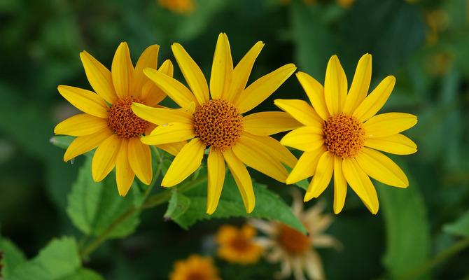 Солнечный цветок американских прерий