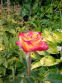 Роза - Мой Мюнхен