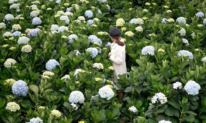 Гортензии цветут в саду