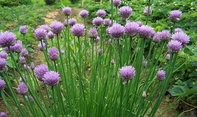 «Растение для срезки» он же лук-скорода