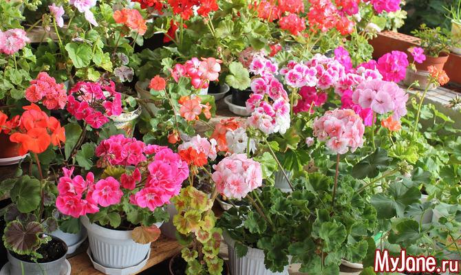 Какие неприхотливые комнатные растения цветут круглый год?