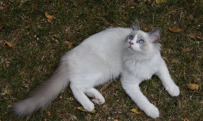 5 самых ласковых пород кошек