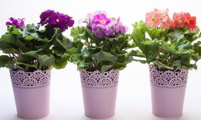 Примула - райский цветок на вашем подоконнике