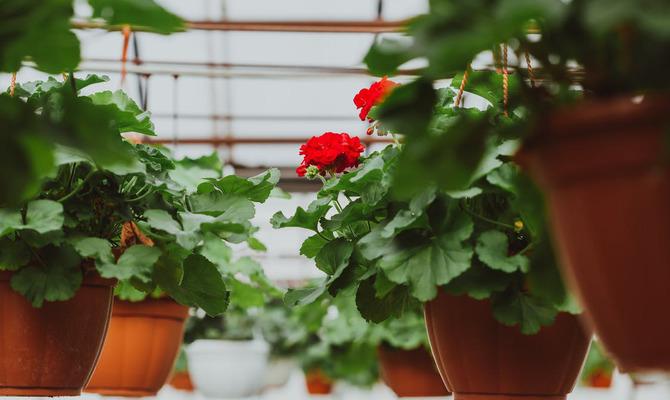 Герань - цветок здоровья и долголетия