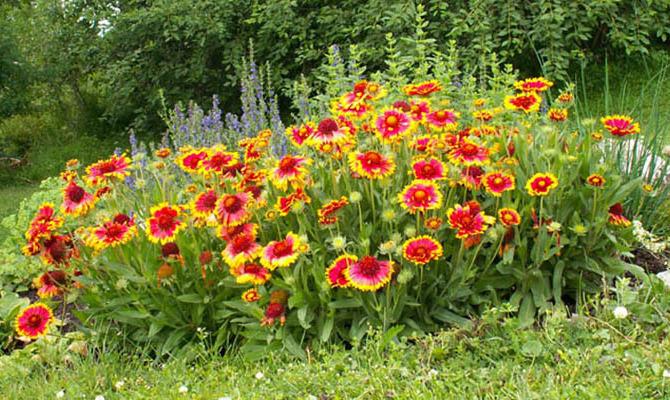 «Солнечный цветок» или гайлардия
